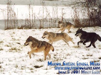 Wolves, Werewolves, that is, Are in Season!!!