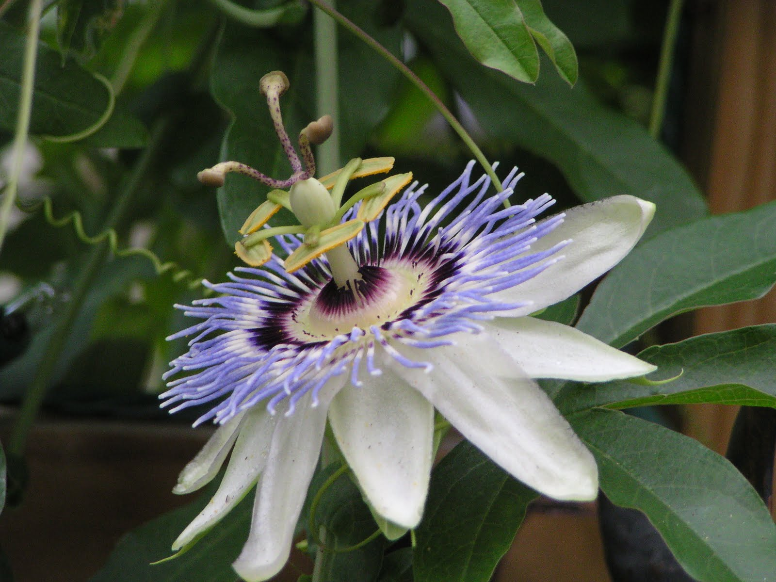 passion flowers and butterflies