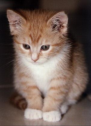 Kucing Biasa