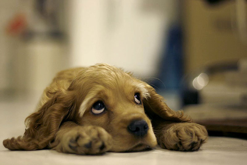 Sad Looking Puppy wallpapers