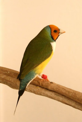 orange head white breasted gouldian finch