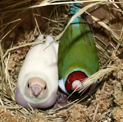 gouldian finch hatchling