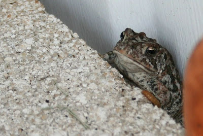 toad eating mealworms