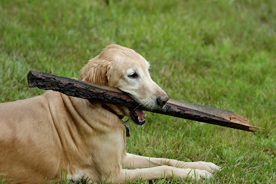 golden retrievers with a stick