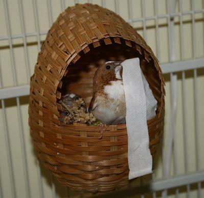 society finch building nest