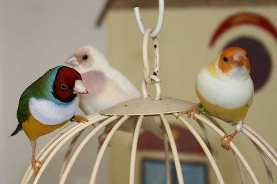 gouldian finches indoor aviary