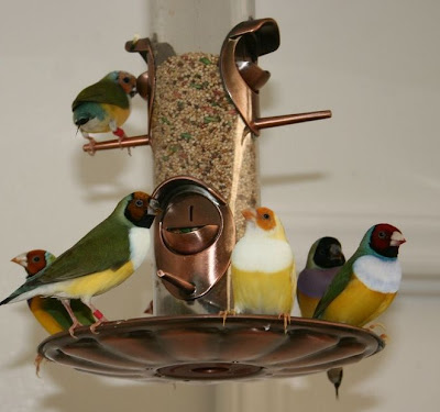 gouldian finches on feeder