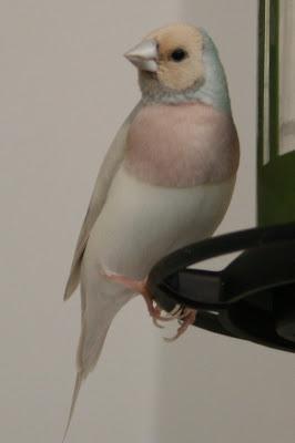 pastel blue male gouldian finch