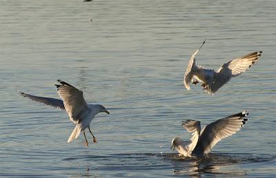 gulls on Lake Gaston