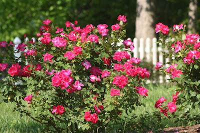 rose bush