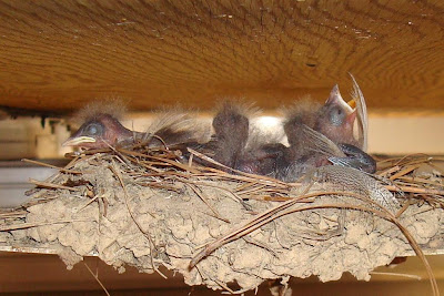 barn swallow babies