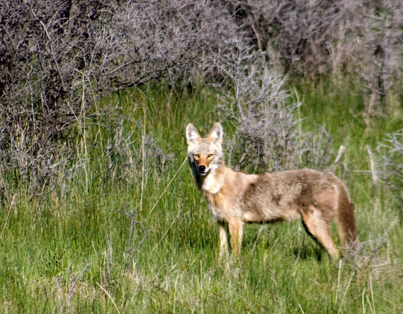 Fox coyote mix