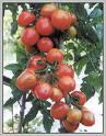 Juragan Tomat