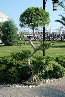 Кривое дерево, сколиоз