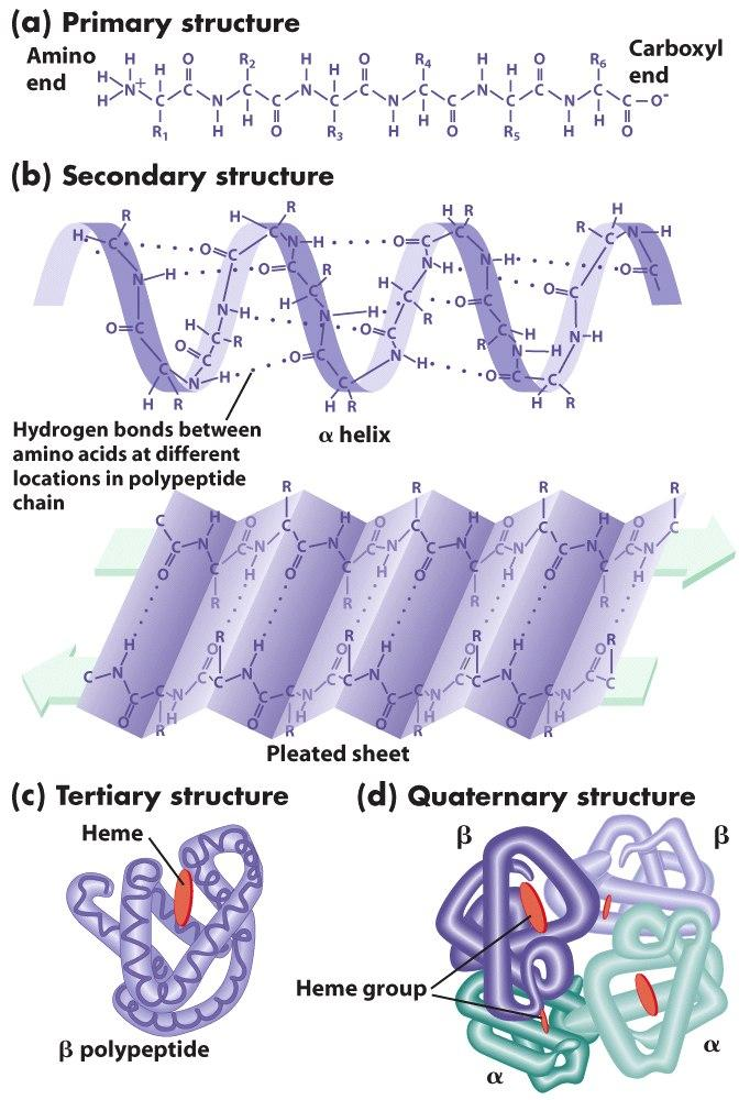 Image from http   barleyworld org css430 09 lecture 209-09 figure-09    Tertiary Structure Of Protein