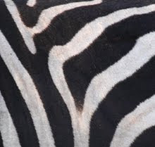 Burchell&#39;s Zebra