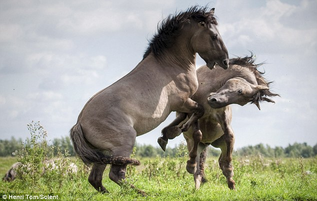 Fun Arena: Photos of wild Stallions Fighting