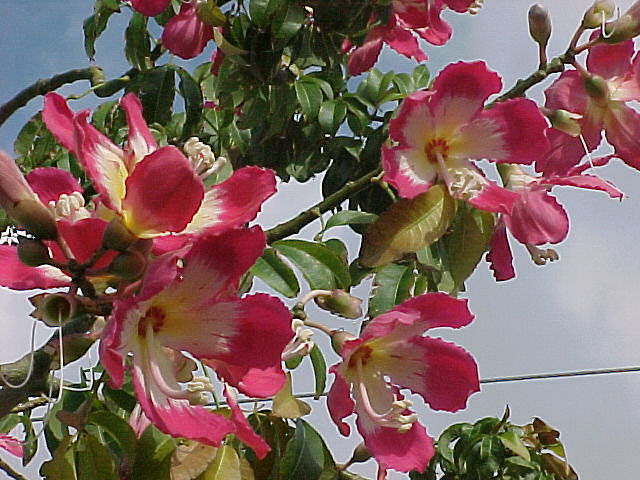 Welcome to the fabulous silk floss tree the fabulous silk floss tree mightylinksfo