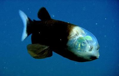 Περίεργο ψάρι με διαφανές κεφάλι!