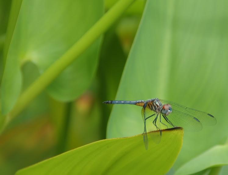 carolina insect