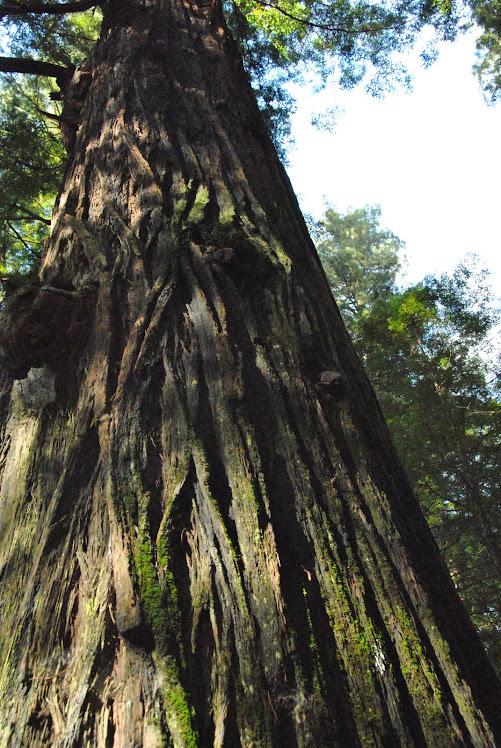giant redwood myers flat