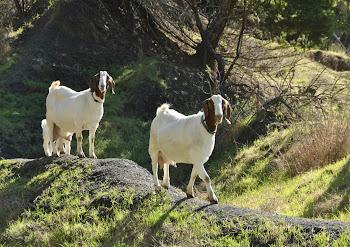 goats on a ridge
