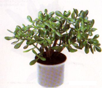 Plantas interior jardineria crasula crassula arborescens for Plantas crasas interior