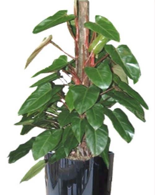 Plantas interior jardineria filodendro philodendron for Planta filodendro