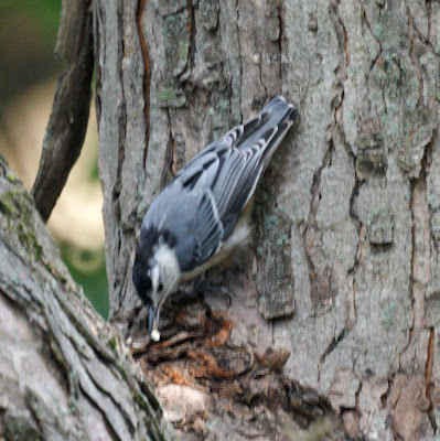 Nuthatch