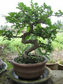 Pokok Teh Cina usia 7thn
