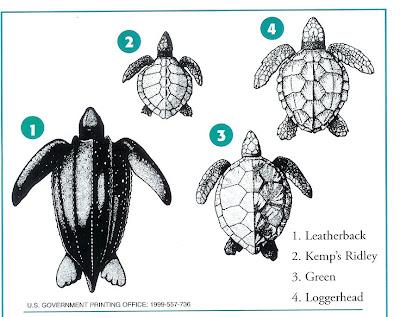 Sea Turtle Diagram