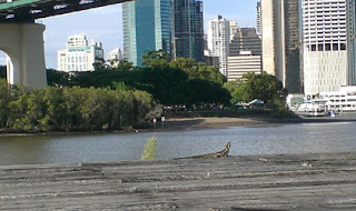 Monitor Lizard, Howard Smith Wharves