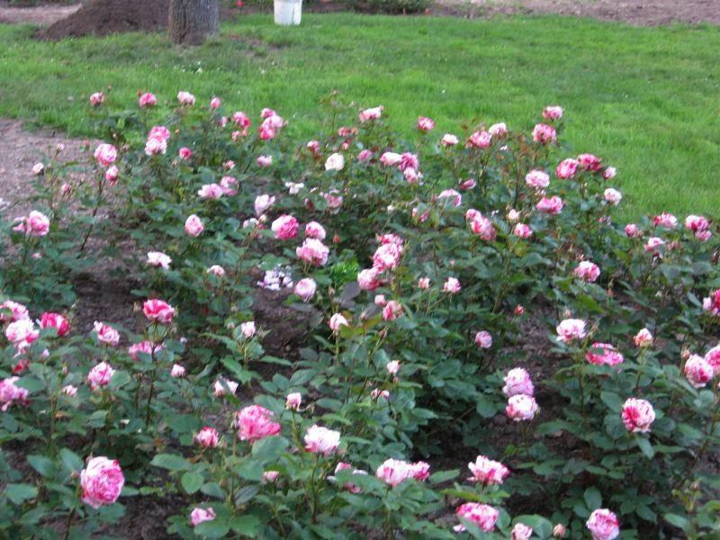 brueckner rhododendron gardens blooming roses eglantyne. Black Bedroom Furniture Sets. Home Design Ideas