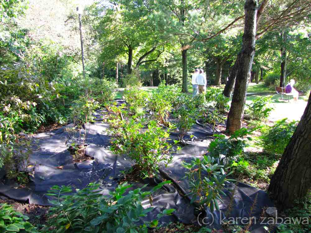 Landscaping Mulch Fabric : Brueckner rhododendron gardens pine needle mulch compost
