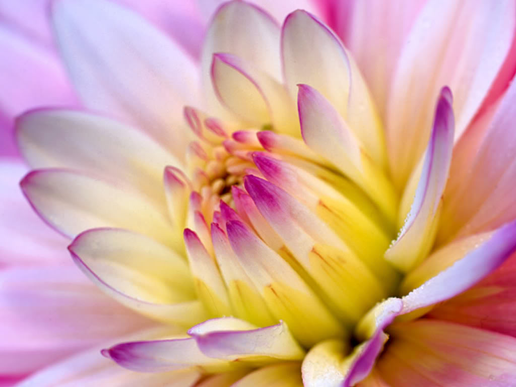 http://2.bp.blogspot.com/_28oWHWocP6Y/TJ47ZfdUgOI/AAAAAAAAAq4/S1AxMOQtuM0/s1600/dalia-flower-wallpaper.jpg