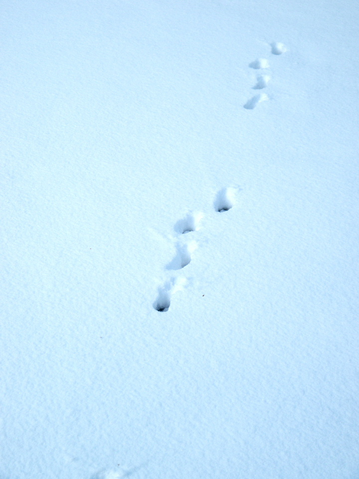 Raccoon tracks in the snow photos for Renew nc fishing license