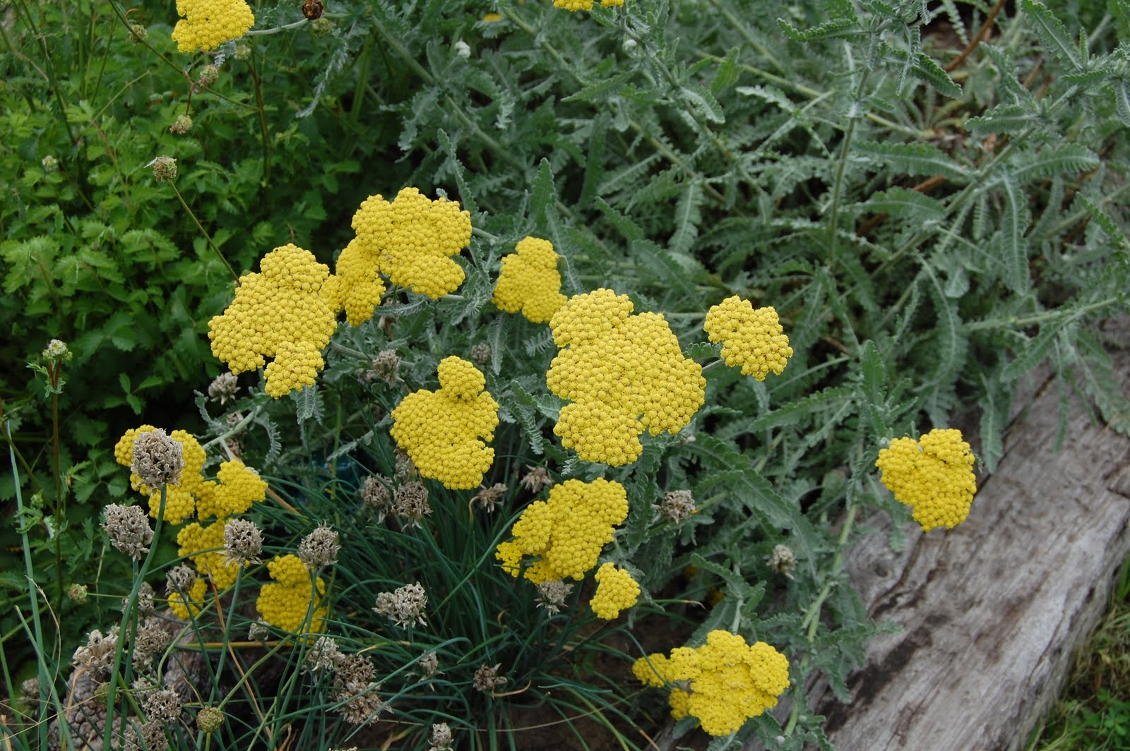 "Brenda's ""Texas Wild"" Garden: Yellow Yarrow Yarrow Plant Yellow"