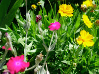 Rose Campion and Coreopsis