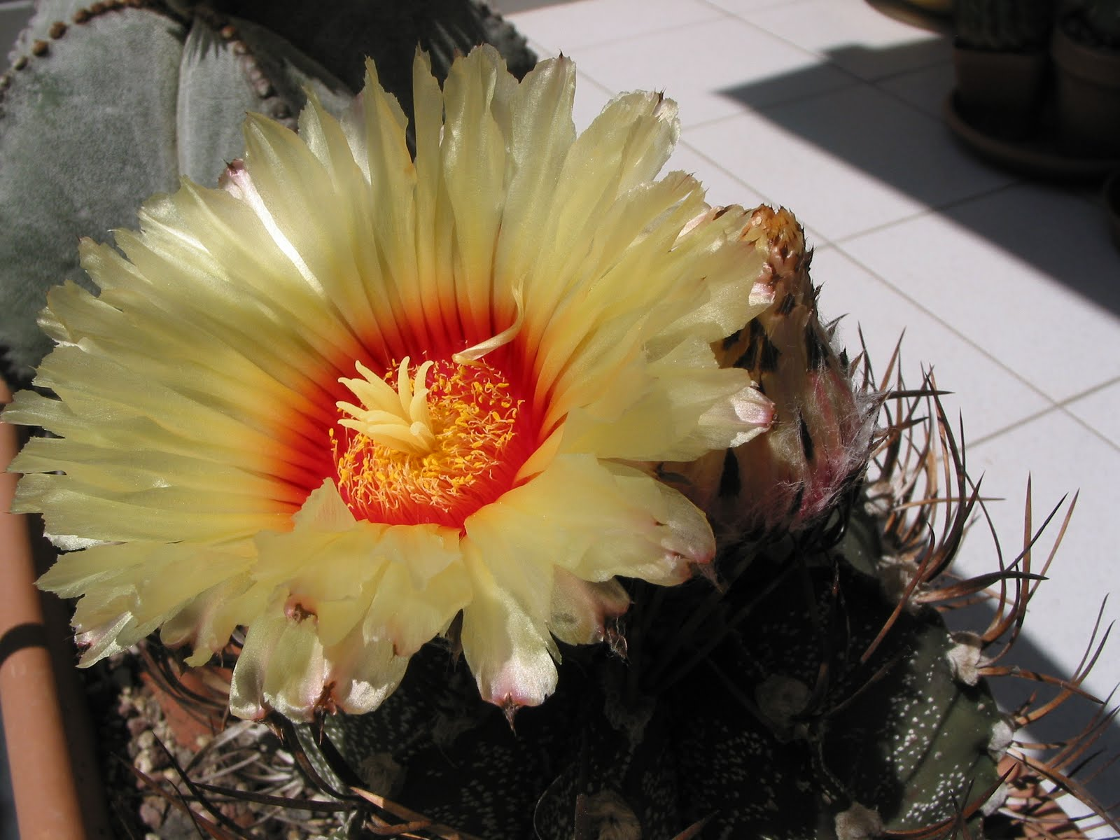 Alphecca altri fiori di piante grasse della stagione 2010 for Grasse immagini