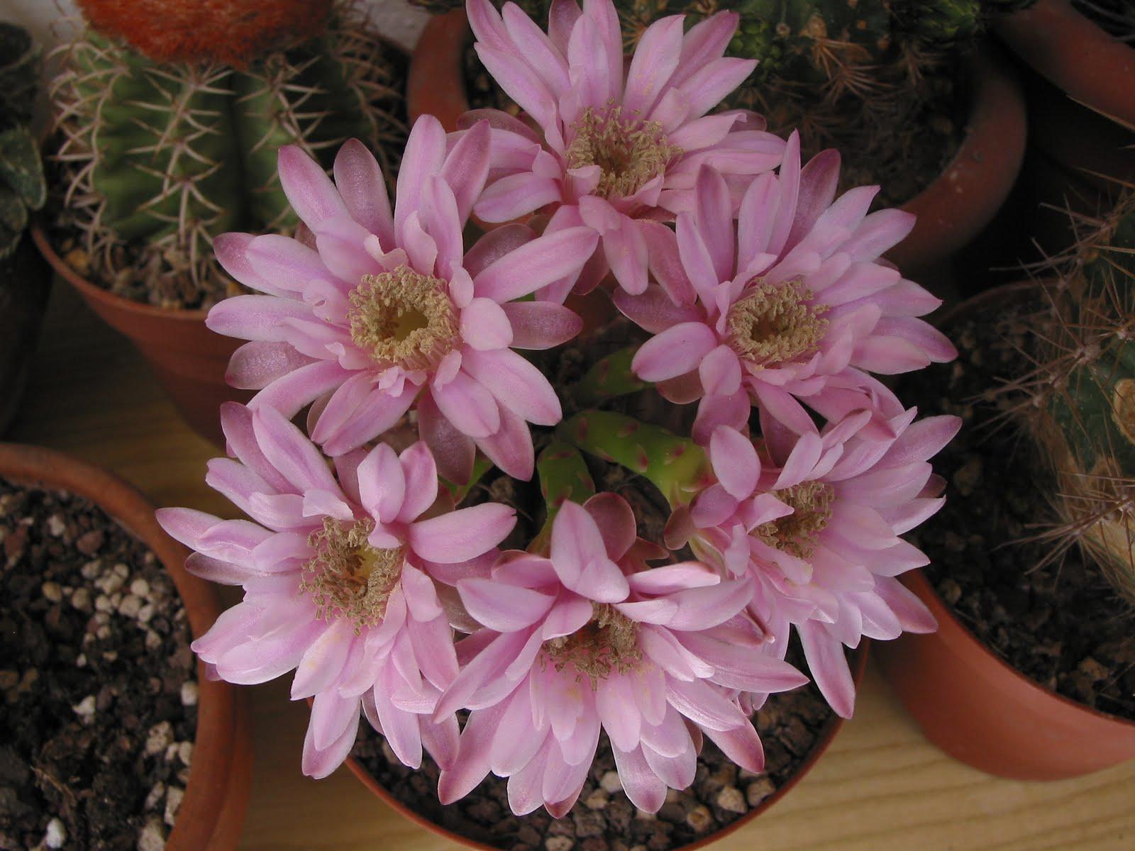 Alphecca ancora altre immagini di piante grasse fiorite for Piante fiori