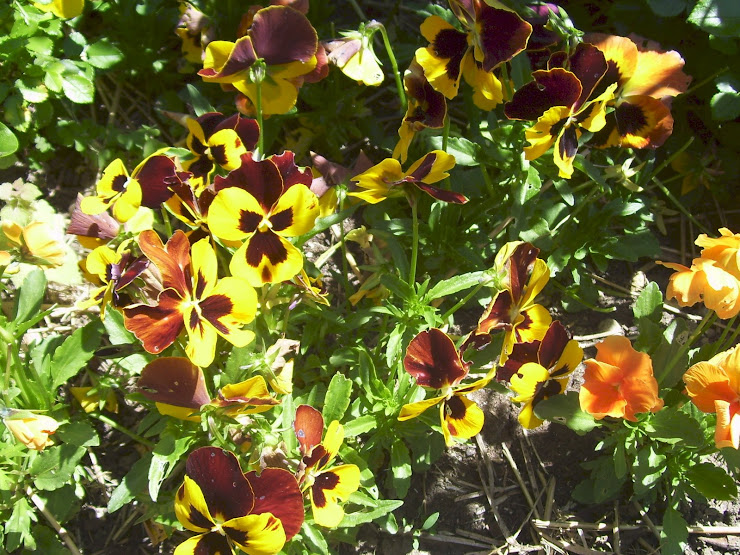 Pansies in Spring