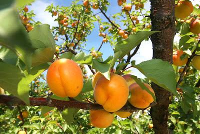 http://2.bp.blogspot.com/_2GNe2CrPpJc/SiBIZAqHkqI/AAAAAAAAAlc/D9nL3ucz05w/s400/Apricot+harvest+2++2009.jpg