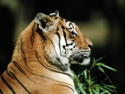 wallpaper tiger. Tiger wallpaper, hq pictures