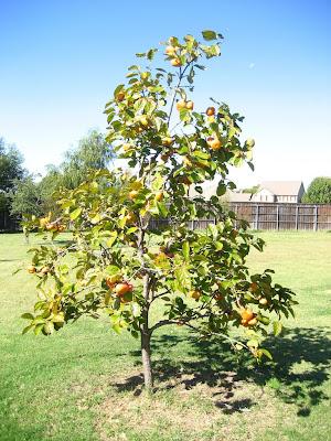 American persimmon tree parents persimmon tree