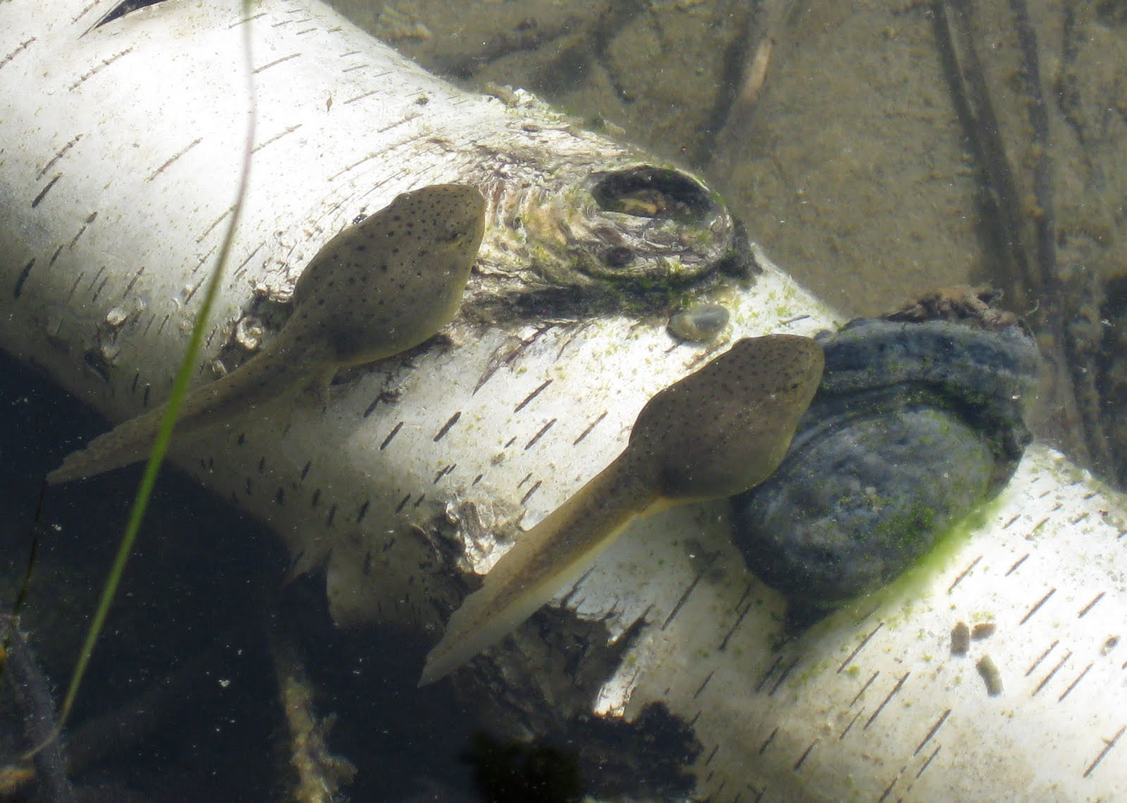 http://2.bp.blogspot.com/_2JaekKJlwgI/S_haOKIf0GI/AAAAAAAACiw/dMeacBMRUS4/s1600/tadpoles-4b-sm.jpg