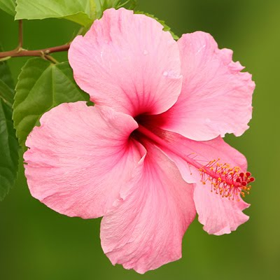 Click Here for hibiscus