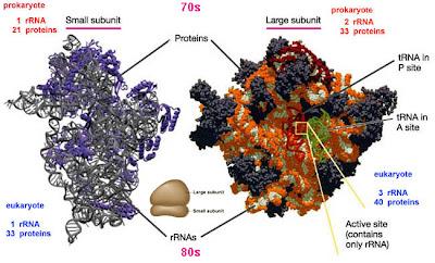 Molecular Genetic Book: rRNA