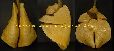 external image pulmon_bo1.JPG