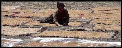 Campagne turque - paysage séchant le grain pour de futures délicieuses galettes