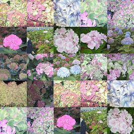 de hortensia's van onze kwekerij